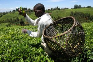 Tea Production